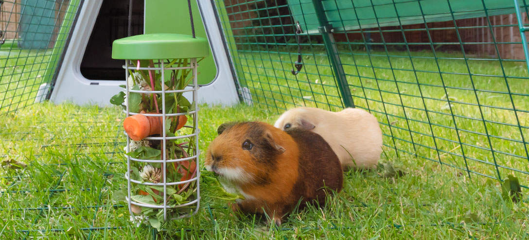 The Caddi Guinea Pig Feeder is the ideal way to feed fresh fruit and vegetables to your guinea pigs. It also keeps food off the ground which improves hygiene and run cleanliness