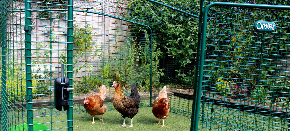 2x2x1 Walk in Chicken Run - chickens walking inside