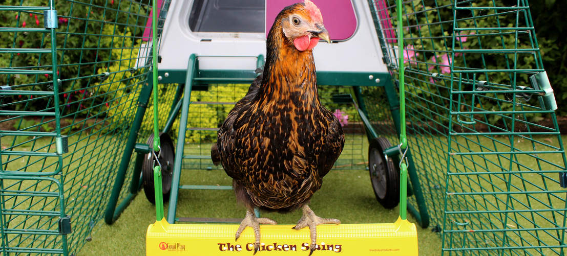 A Miss Pepperpot sitting on The Chicken Swing in an Eglu Go UP Chicken Coop