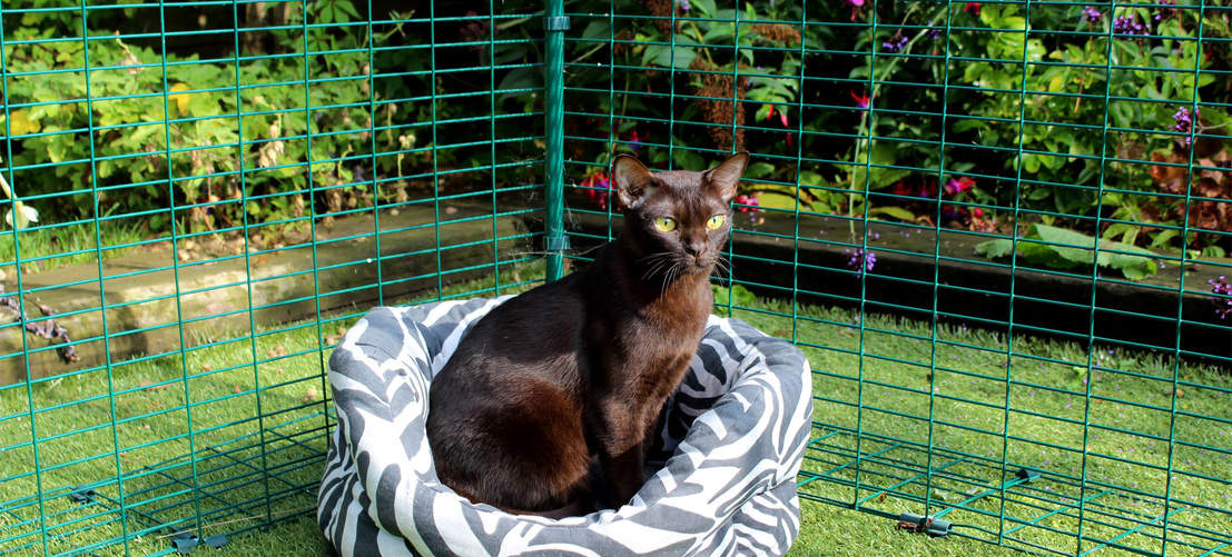 Burmese cat sitting in Outdoor Cat Run
