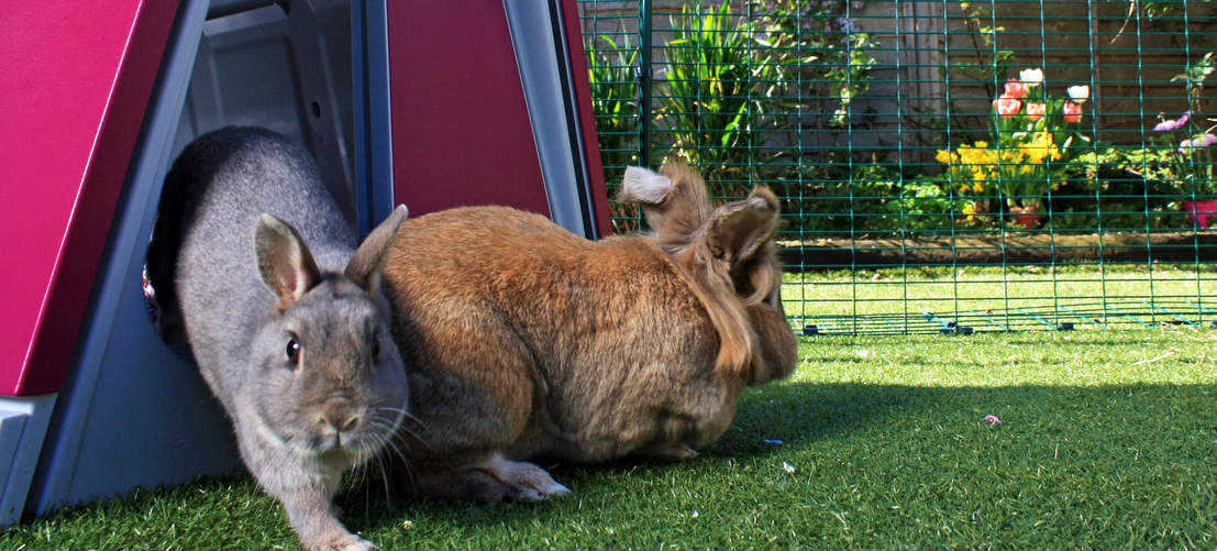 Placing a rabbit hutch in the outdoor rabbit run will give your pet bunnies somewhere private to shelter.