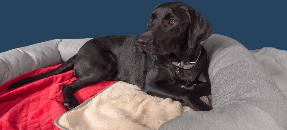 Roger the Labrador loves snuggling up with the poinsettia red blanket in his large Bolster Bed.