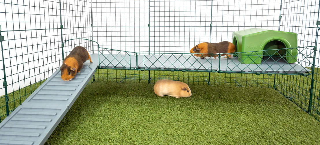 Zippi Platforms give your guinea pigs new ways to exercise, play and explore!