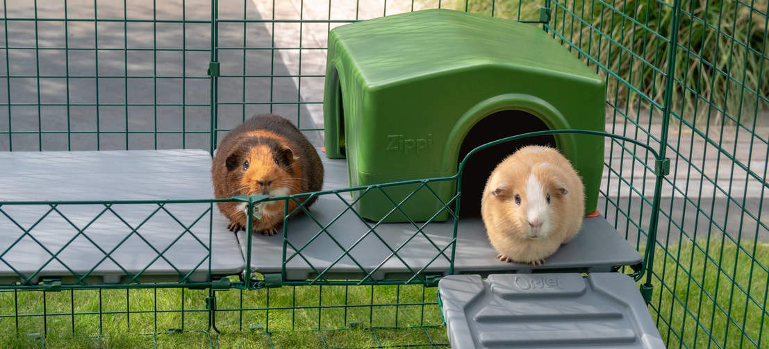 Guinea pigs will love looking out from the elevated position the Zippi Platforms provide.