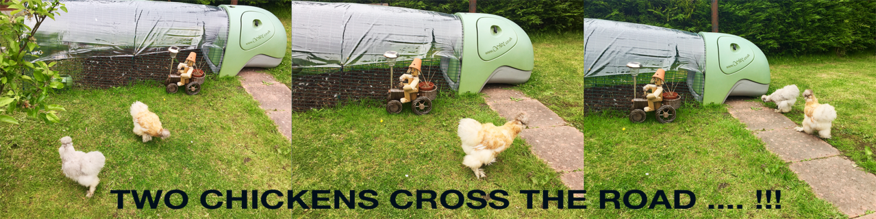 Two chickens cross the road ... !!!
