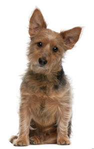 a lovely australian terrier with a wirey coat looking inquisitively