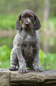 A German short haired pointer puppy pretending to be serious