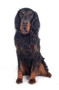 A young adult Gordon Setter sat up to attention