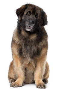 A lovely, mature Leonberger sitting neatly, waiting for some attention