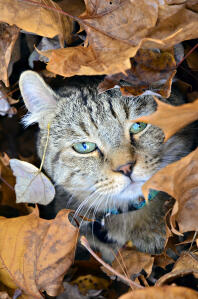 A highlander cat hiding in the leaf litter