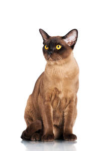 A beautiful chocolate burmese cat with golden eyes