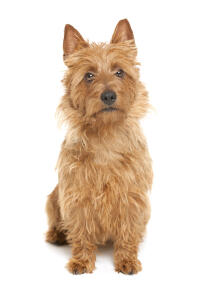 An australian terrier with a beautifully scruffy coat looking curiously at the camera