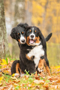 Two adult Bernese Mountain Dogs enjoying each others company