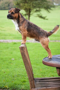 An adult male Border Terrier showing off its healthy, long body