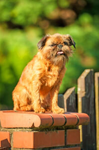 An adult Brussels Griffon waiting high up on a wall for it's owner
