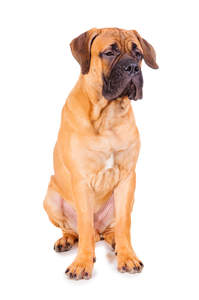 A young adult Bullmastiff sitting strong