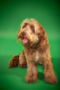 An adult Otterhound sitting, waiting for some attention from its owner