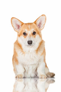 A beautiful young Pembroke Welsh Corgi with a healthy, soft coat