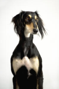 A Saluki showing off it's incredible, slender physique and long, soft ears