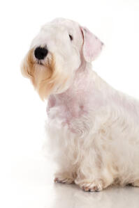 A Sealyham Terrier's incredible scruffy beard and beautifully soft, white coat