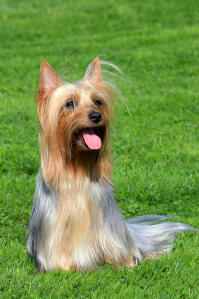a happy australian silky terrier ready to play