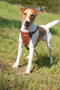 A Smooth Fox Terrier standing tall, waiting for it's owner to play