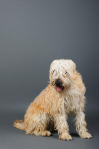 A Soft Coated Wheaten Terrier's incredible, thick, long coat