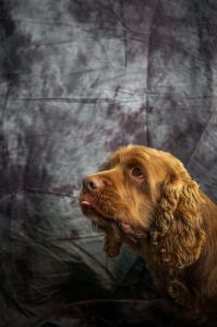 A close up of a Sussex Spaniel's wonderful thick, curly ears