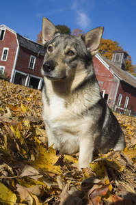 A beautiful adult Swedish Vallhund sitting in the leaves, waiting for some attention