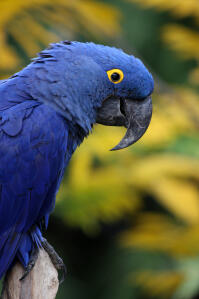A close up of a Hyacinth Macaw's big, black beak