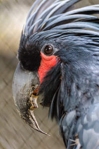 A close up of a Palm Cockatoo's wonderful, large beak and red face