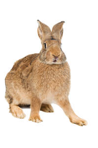 A Belgian Hare with incredible large back feet