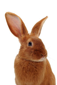 A Fauve de Bourgogne rabbit's incredible tall ears