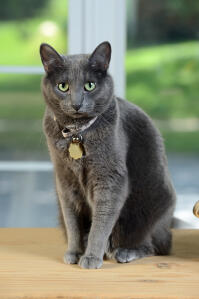 A pretty Korat with a plush grey coat