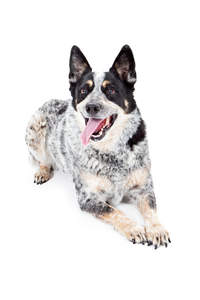 A lively australian cattle dog waiting for a command