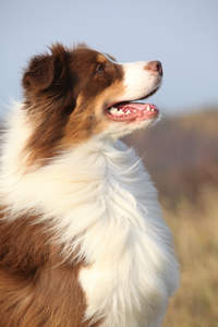 A fantastic looking australian shepherd eager to work
