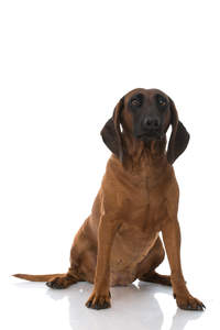 A handsome bavarian mountain hound sitting down