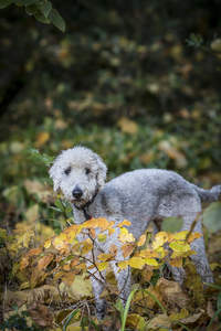 A beautiful, little Bedlington Terrier playing outside