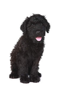 A healthy Black Russian Terrier puppy sitting very neatly
