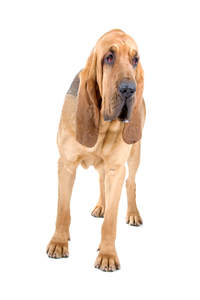 A young adult Bloodhound with a lovely short coat