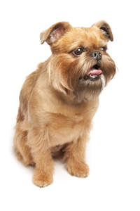 An adult Brussels Griffon with a beatifully groomed brown coat