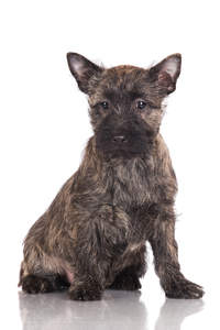 A short coated, wiry, young Cairn Terrier puppy