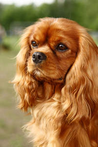 A close up of a Cavalier King Charles Spaniel's beautiful long, soft ears