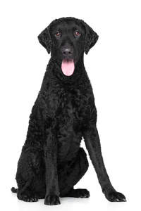A black, young adult Curly Coated Retriever sitting tall
