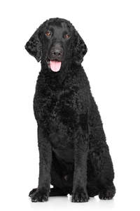 A lovely thick, black fured male Curly Coated Retriever
