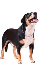A Entlebucher Mountain Dog with a short stocky body