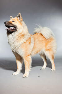 An adult Eurasier standing tall, showing off it's beautiful bushy tail