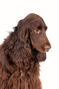 A pretty field spaniel thinking doggy thoughts