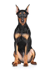 A beautiful young German Pinscher eager for a game