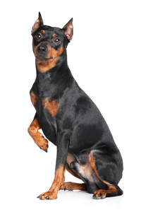 A lovely young German Pinscher sitting with his paw up